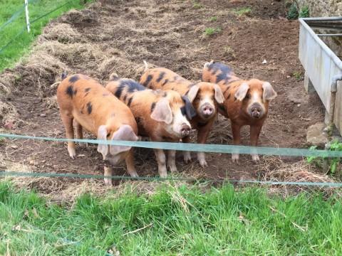 Oxford gray & Tan pigs